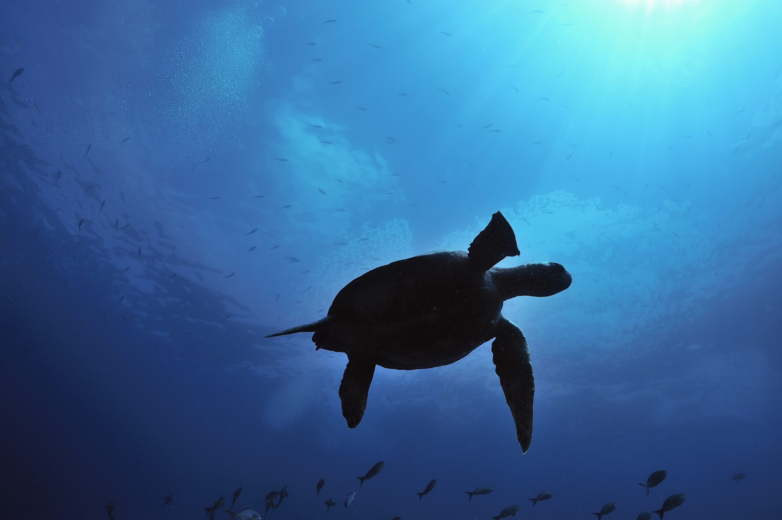 silhouette of turtle below water in Galapagos on this Ecuador & Peru holiday