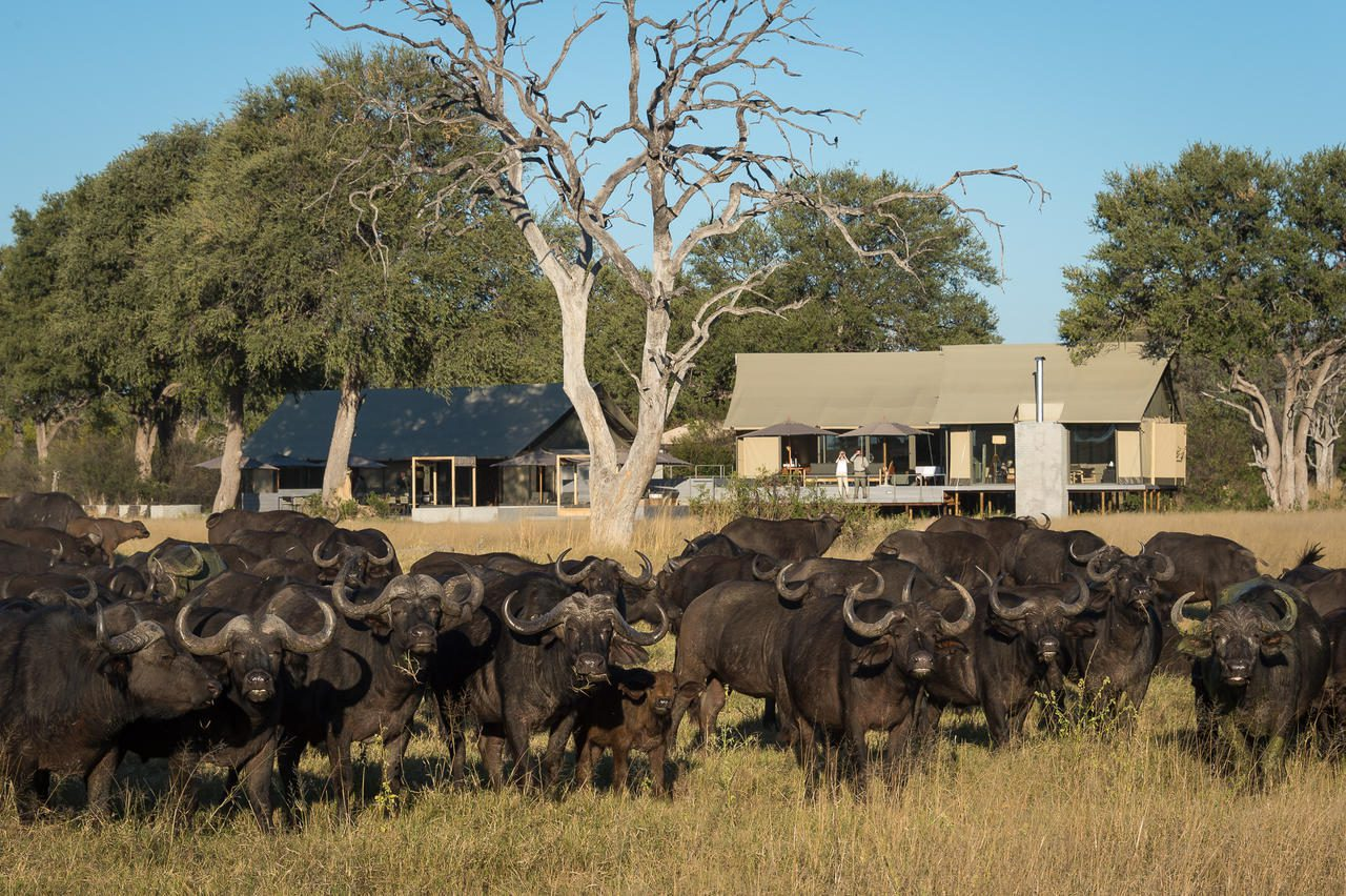 buffalo gather in front of safari camp