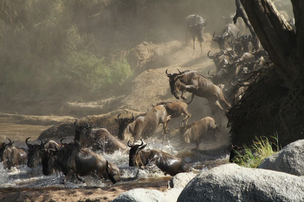 Wildebeest jumping in the river