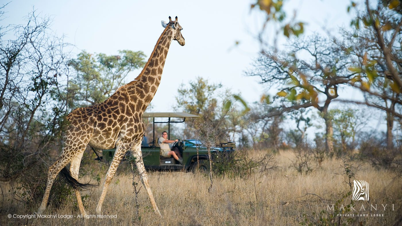 giraffe in the bush with onlookers from a game drive vehicle on this South Africa and Namibia safari