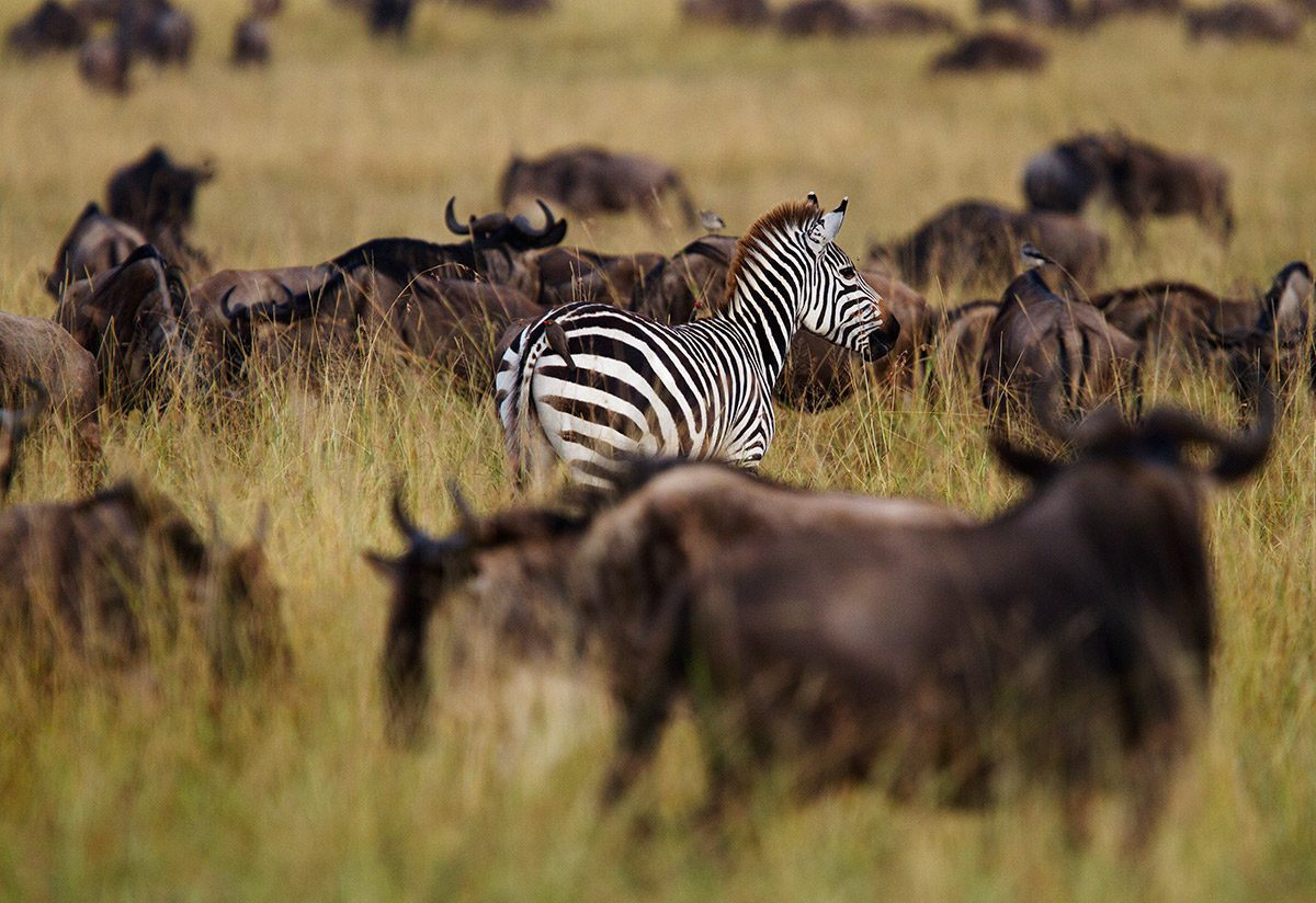 zebra and wildebeest in the Maasai Mara