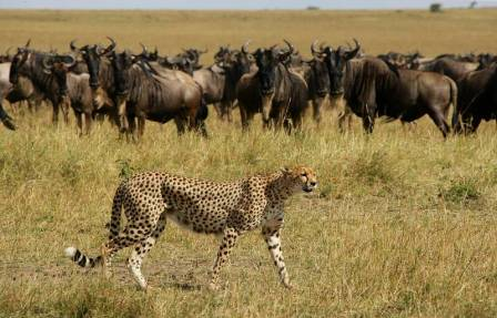 elephant pepper camp cheetah and wildebeest in the background