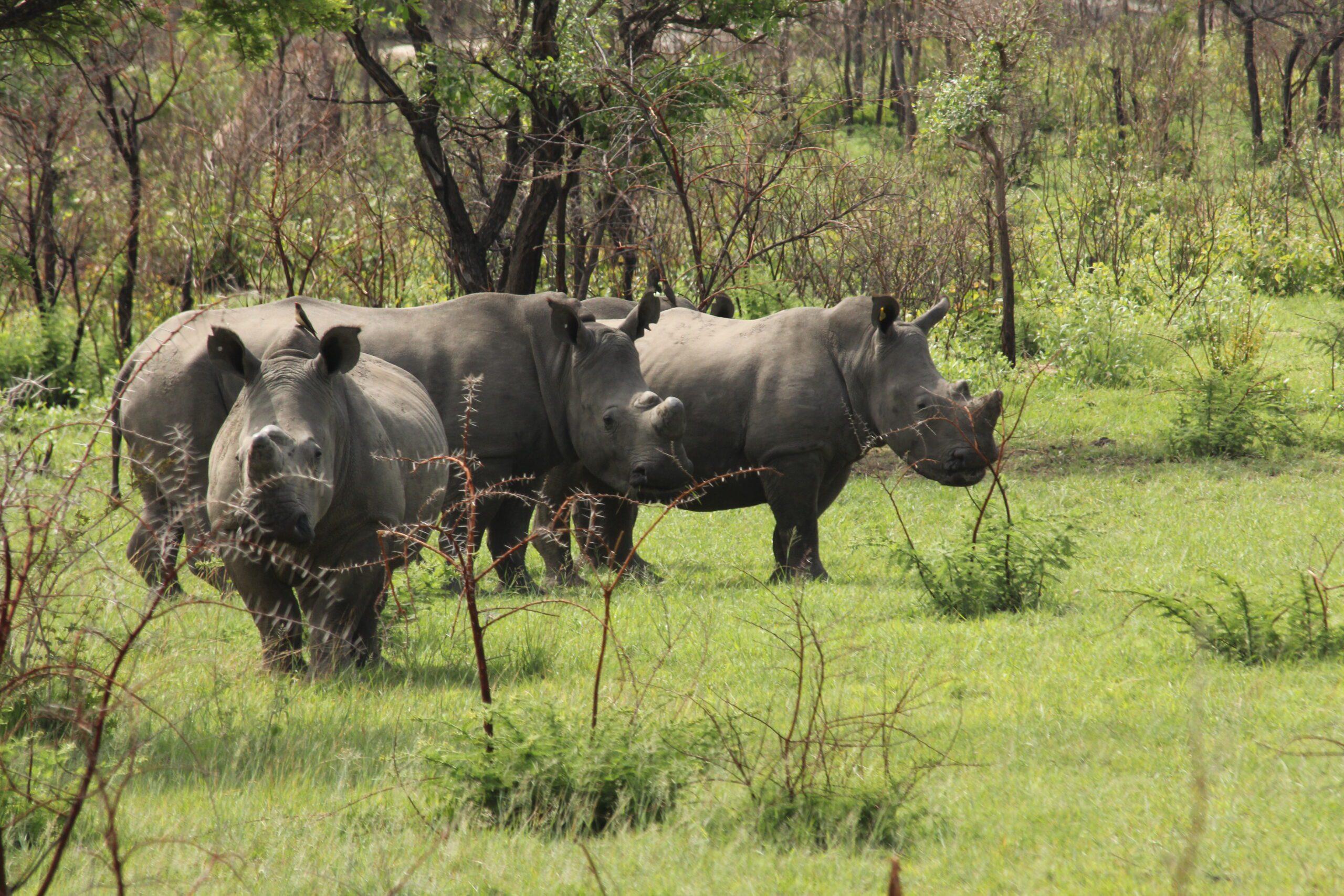 rhinos in a field seen on Zimbabwe safari