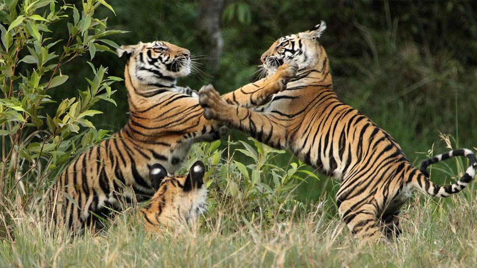 two tigers play fighting while another looks on while lying in the grass.
