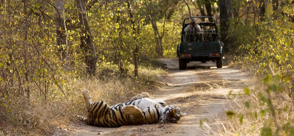 tiger laying down in road with vehicle in background