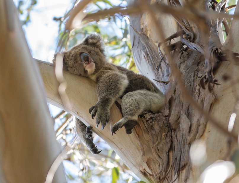koala in a eucalyptus tree seen on Australia safari