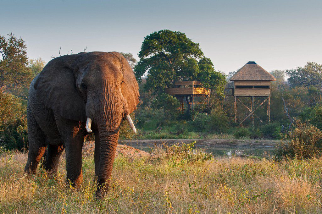 view an elephant walking in front of a tree house in grassy field on this Cape Town and the Best South Africa Safari