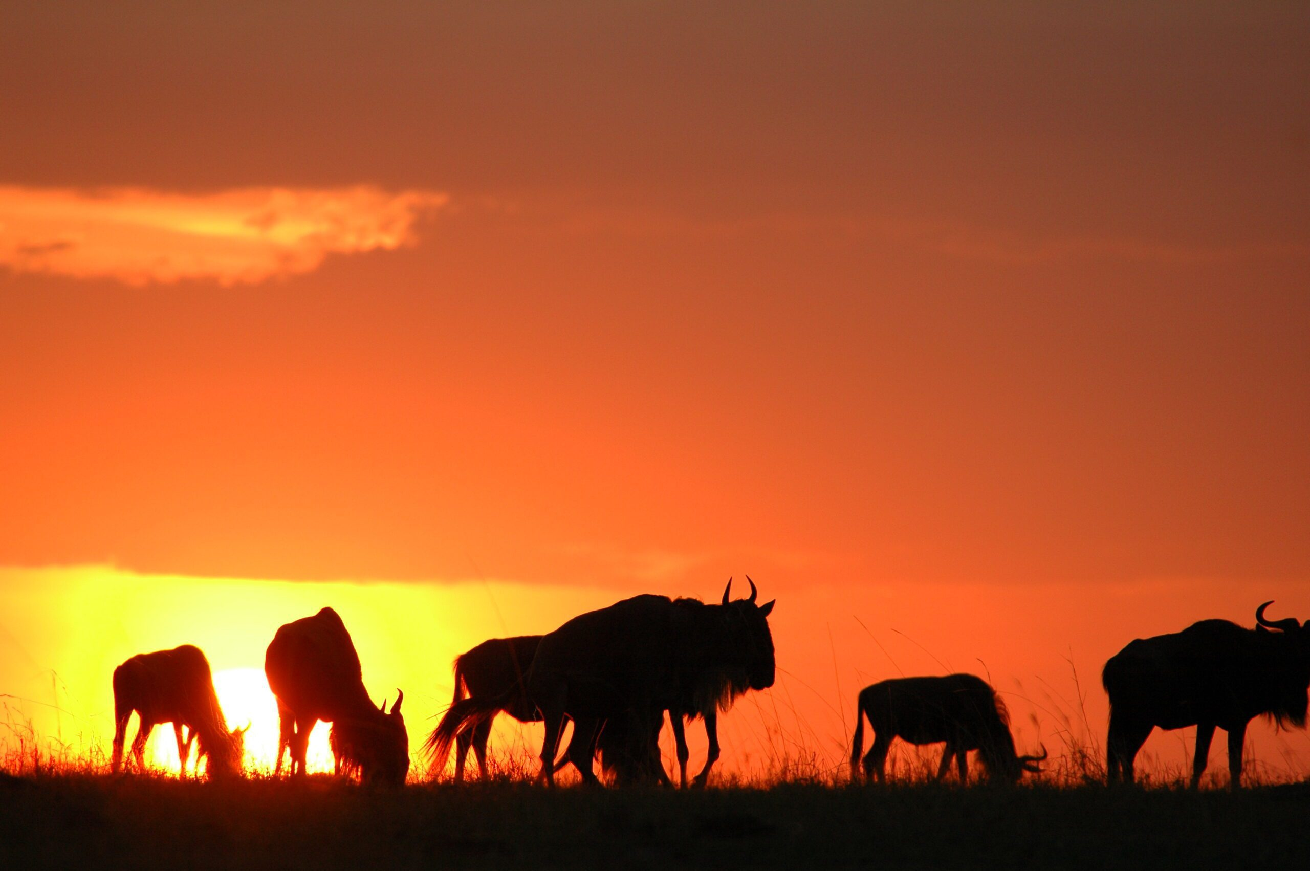 On our northern Tanzania safari see a herd of wildebeest with an orange sunset in the backdrop