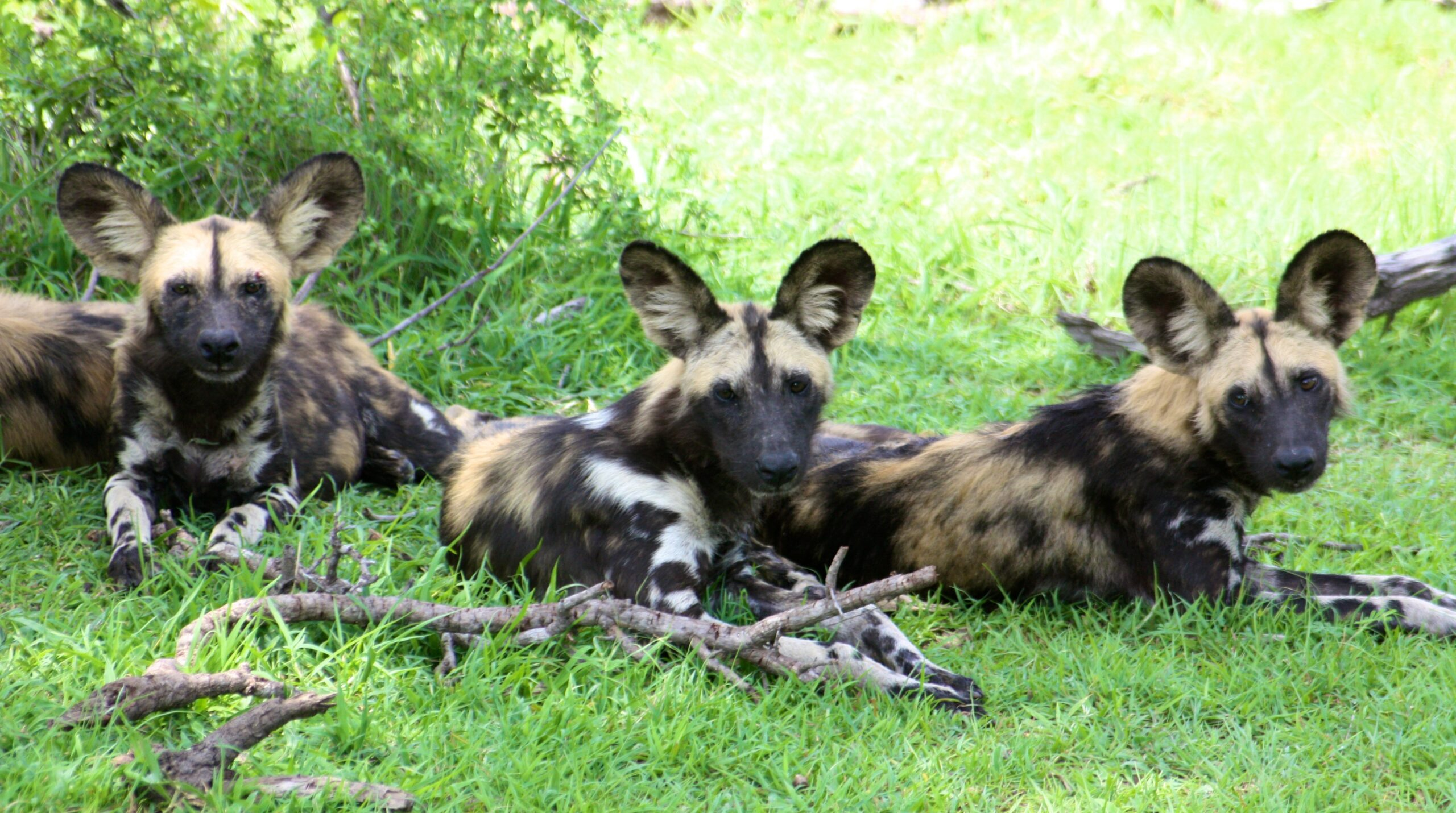 three wild dogs laying down in the green grass with a stack of sticks at their paws