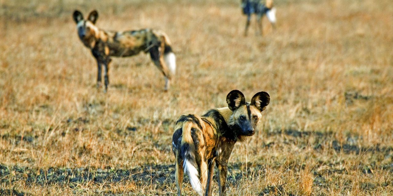 pack of wild dogs in busanga plains with brown and green grass seen on zabia safari