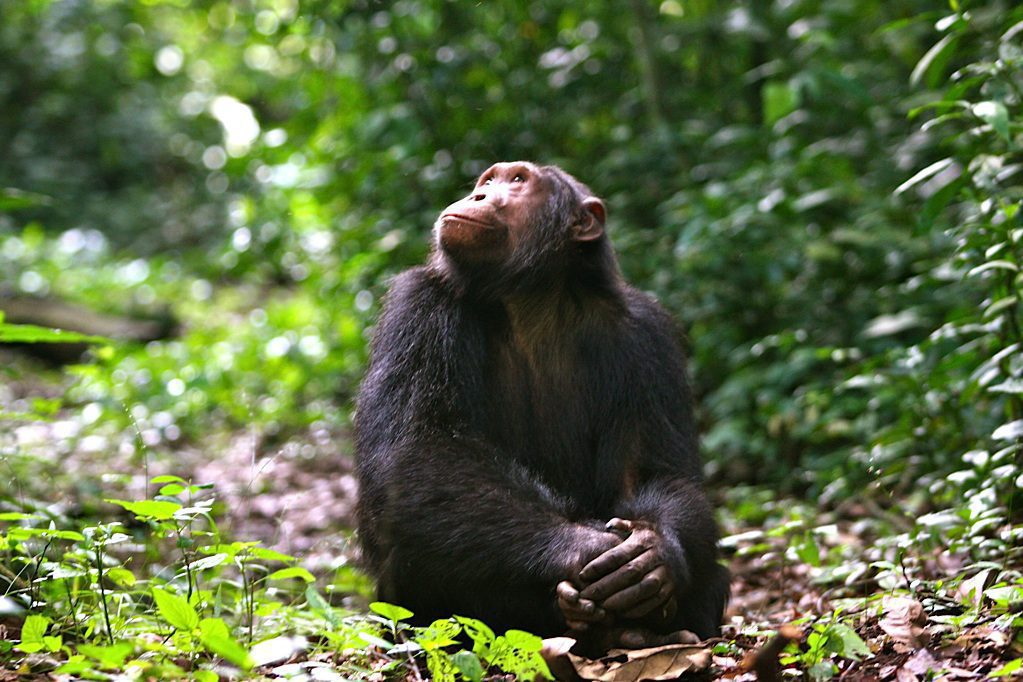 chimpanzee sitting on forest floor looking up