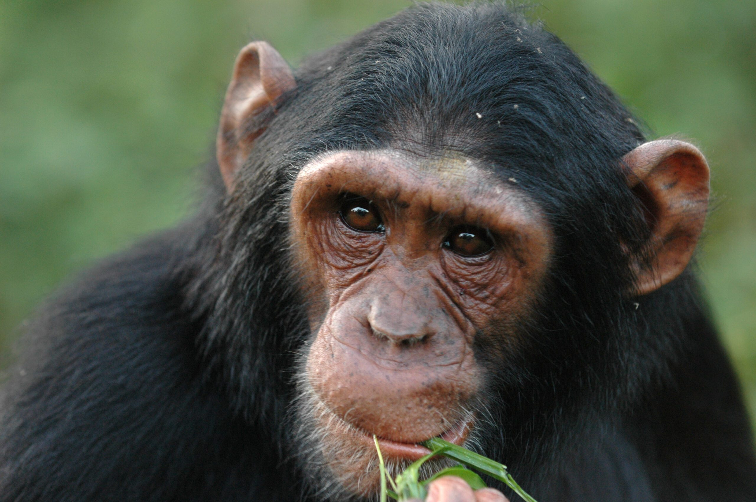 Close up of chimpanzee eating grass