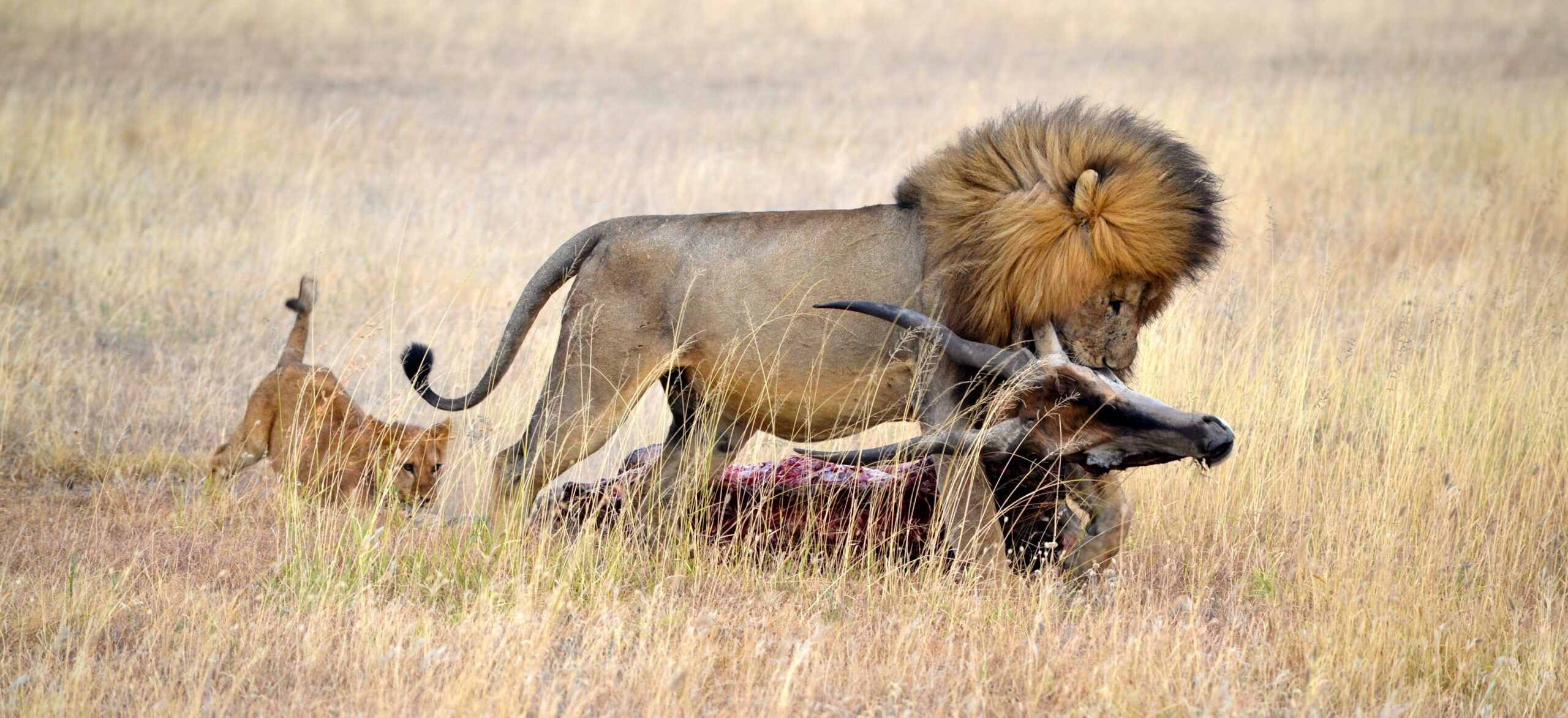 lion with a topi kill in the open plains. a cub is trailing viewed on safari in tanzania
