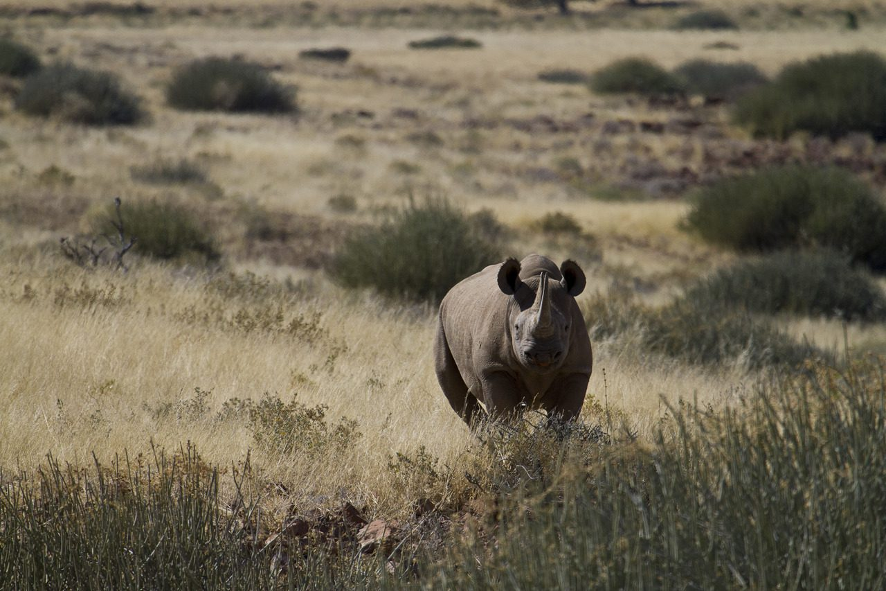 Desert adapted rhino tracking by foot in Damaraland