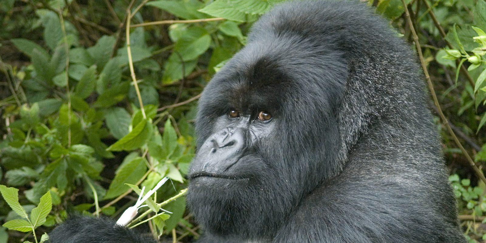 gorilla looking over shoulder at the camera