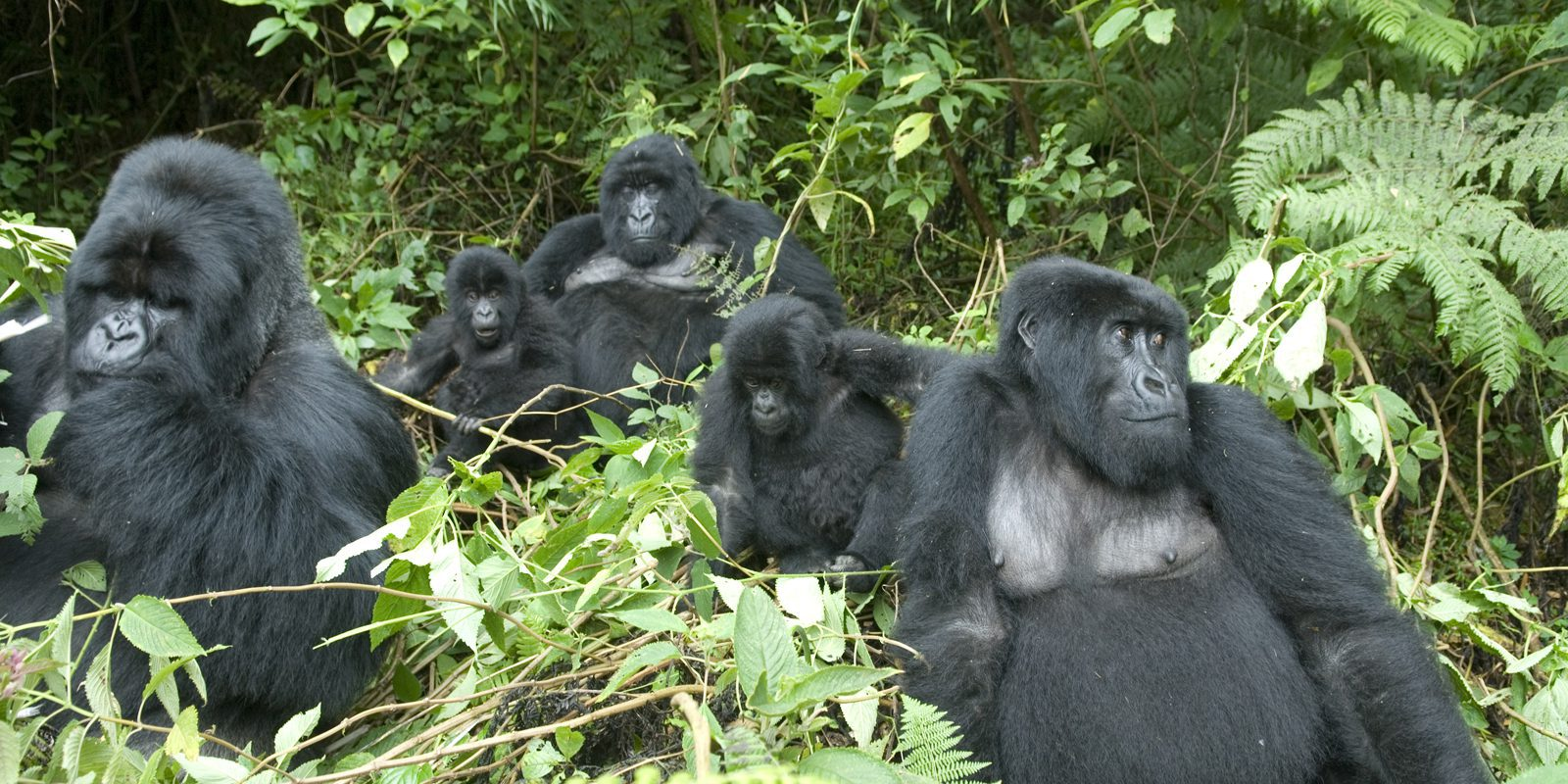 group of gorillas sitting in bushes
