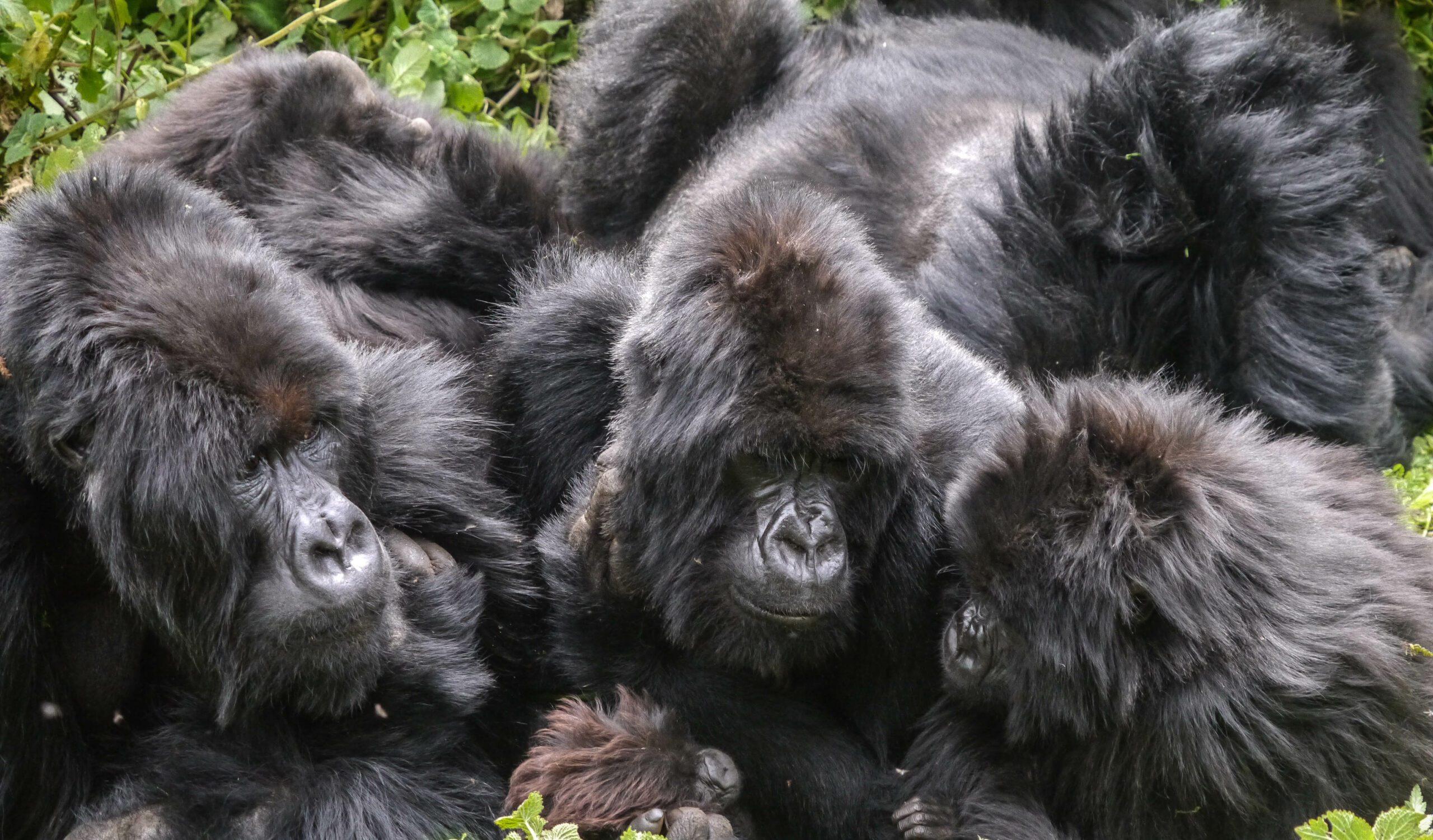 gorilla troop entwined seen on Rwanda safari