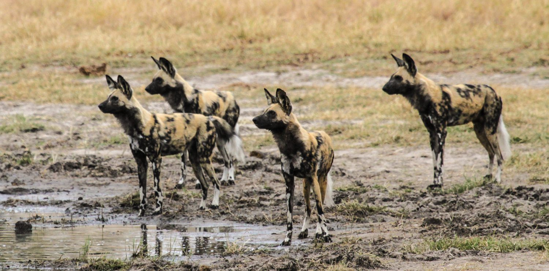 Wild Dog Hwange National Park on Zambia & Zimbabwe luxury safari