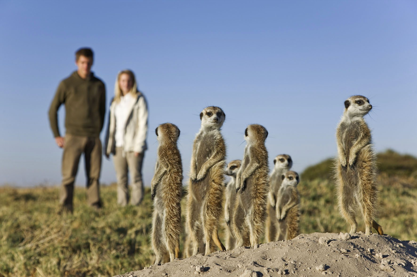 Habituated meerkates standing tall with safari guests in background, Jacks Camp