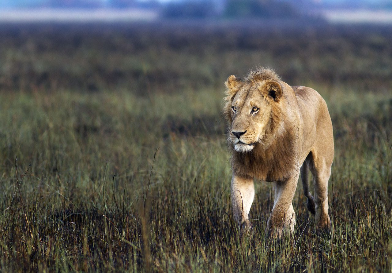 male lion walking through the grass
