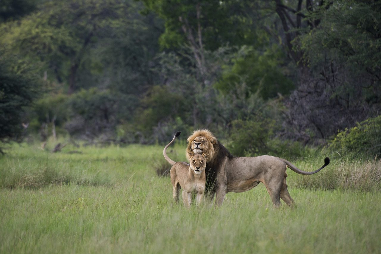 Male and female lion in the savanna of Hwange