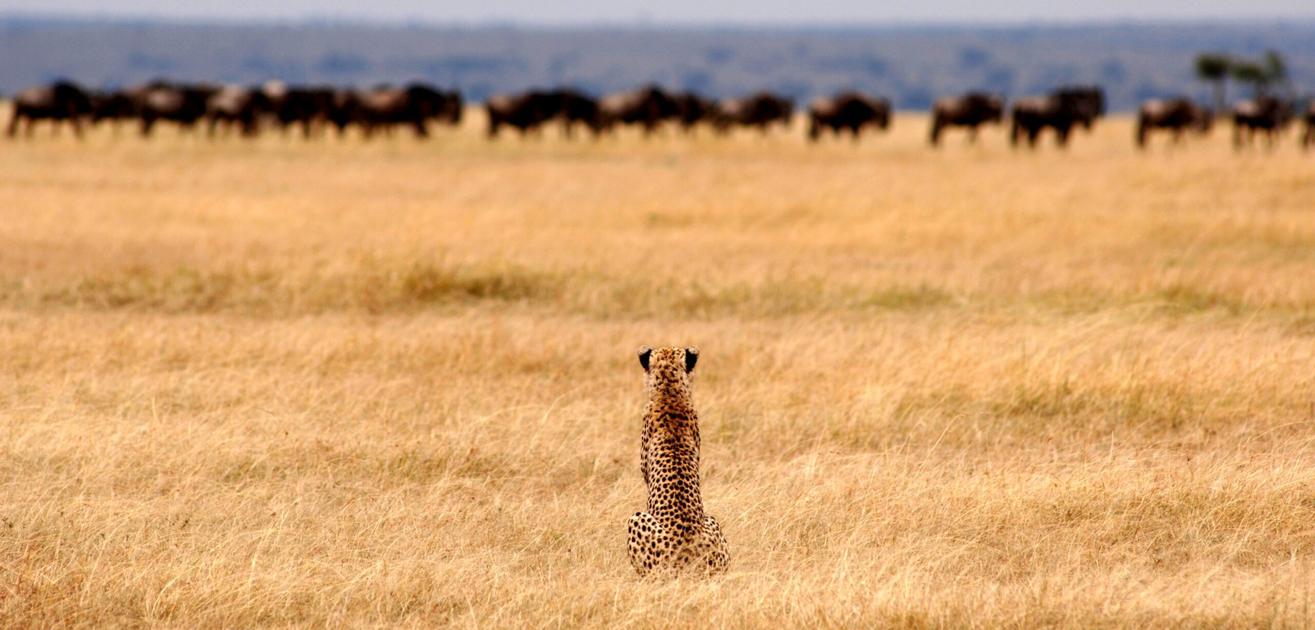 cheetah in a grassy plain looking at herd