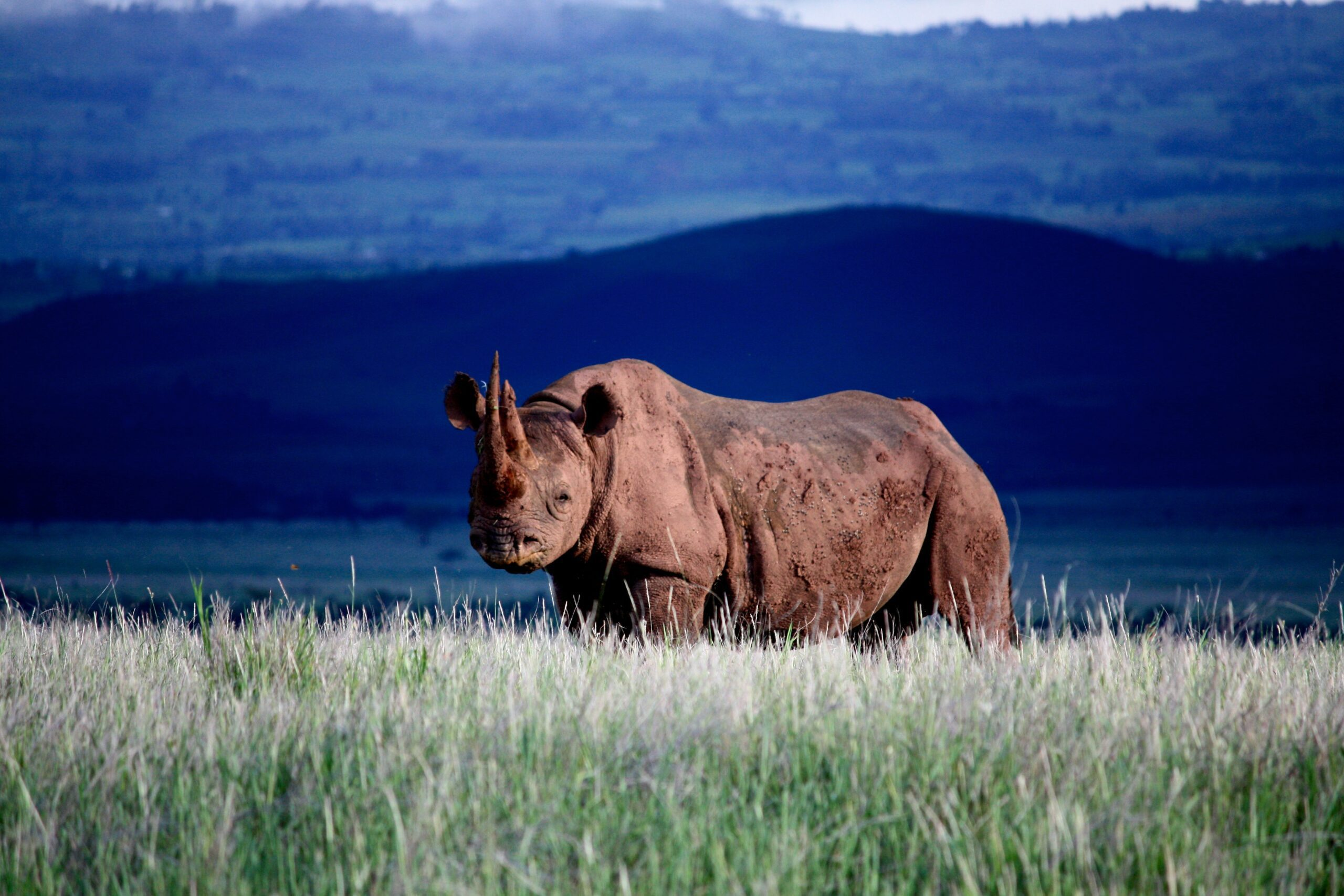 lone rhino in a field with blueish hills in the background