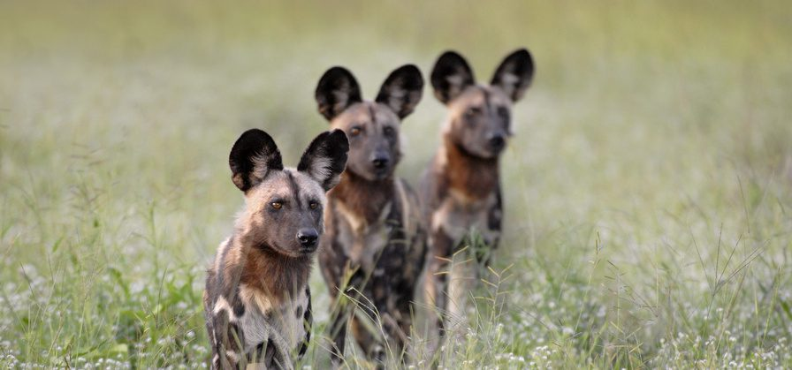 pack of wild dogs in South Luangwa peeking over the long grass