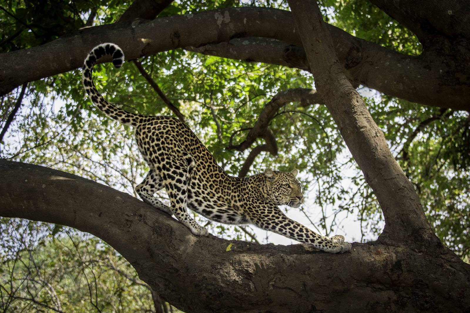 leopard stretching with its arms out in shaded tree in south luangwa