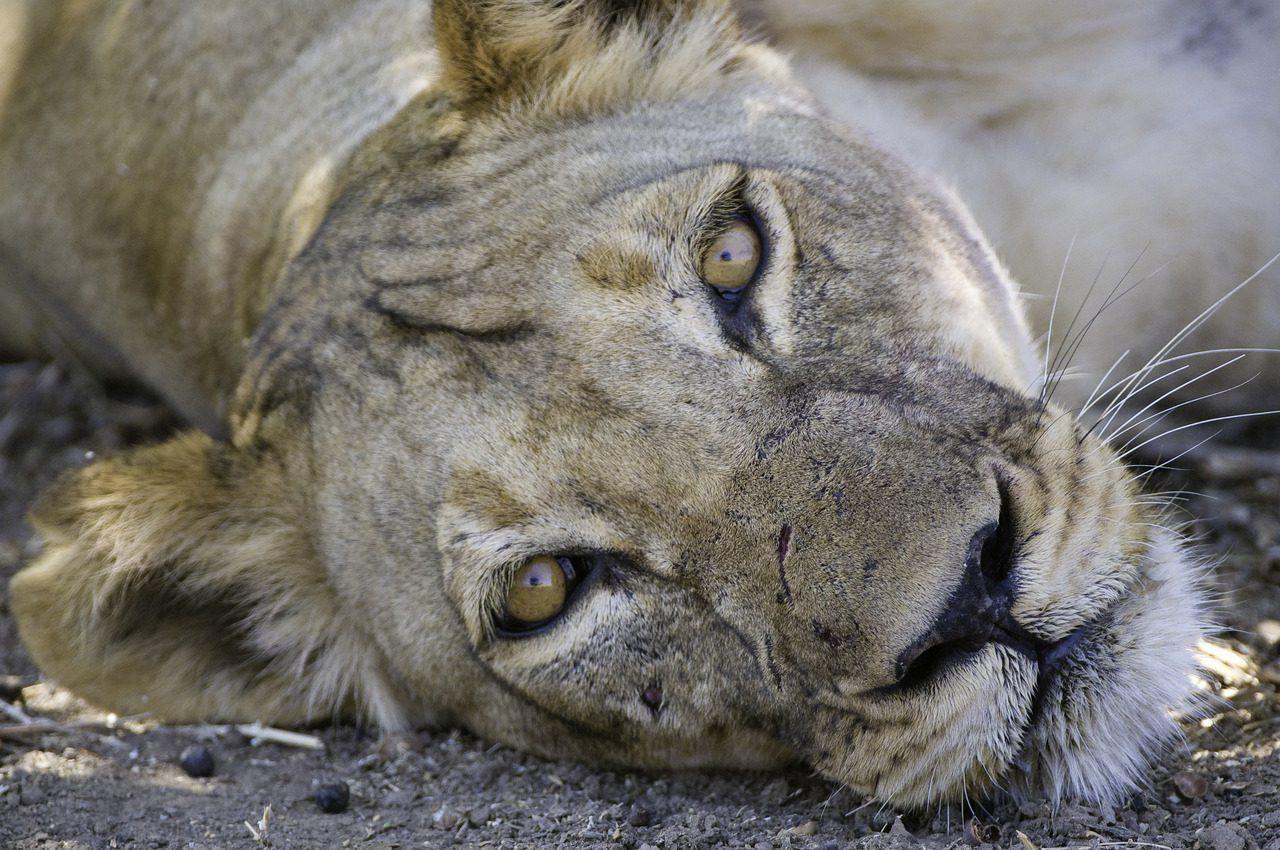 Ruckomechi Camp Lioness