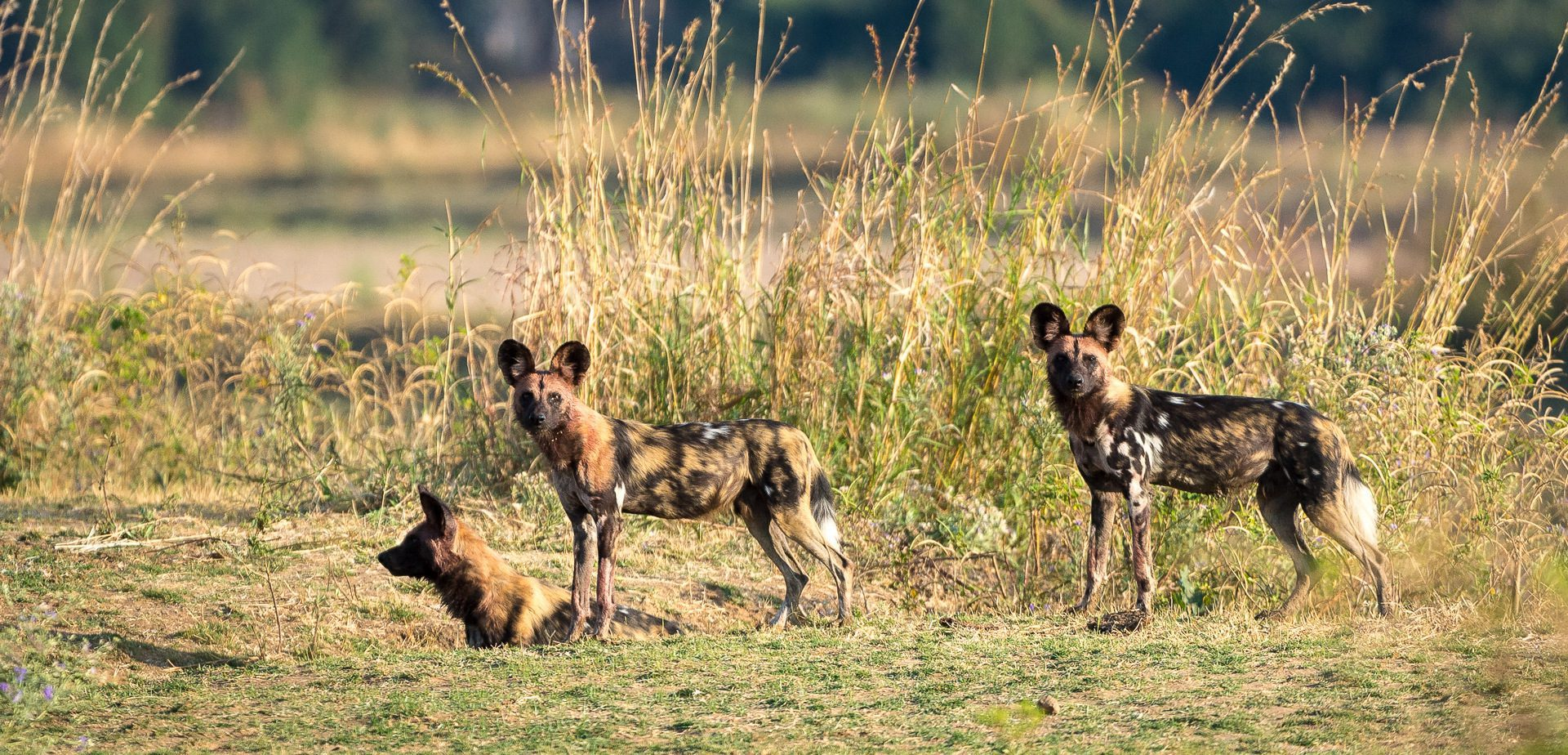 wild dogs in south luangwa