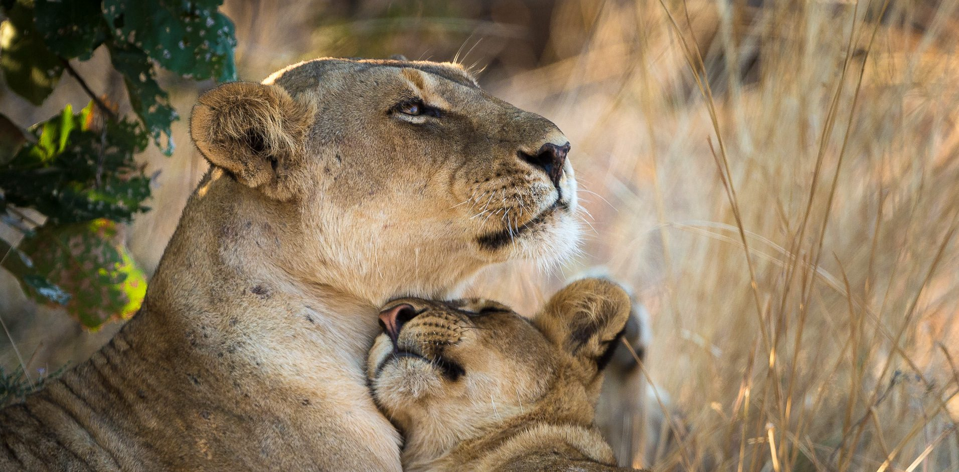 Lioness nestling each other in the plains