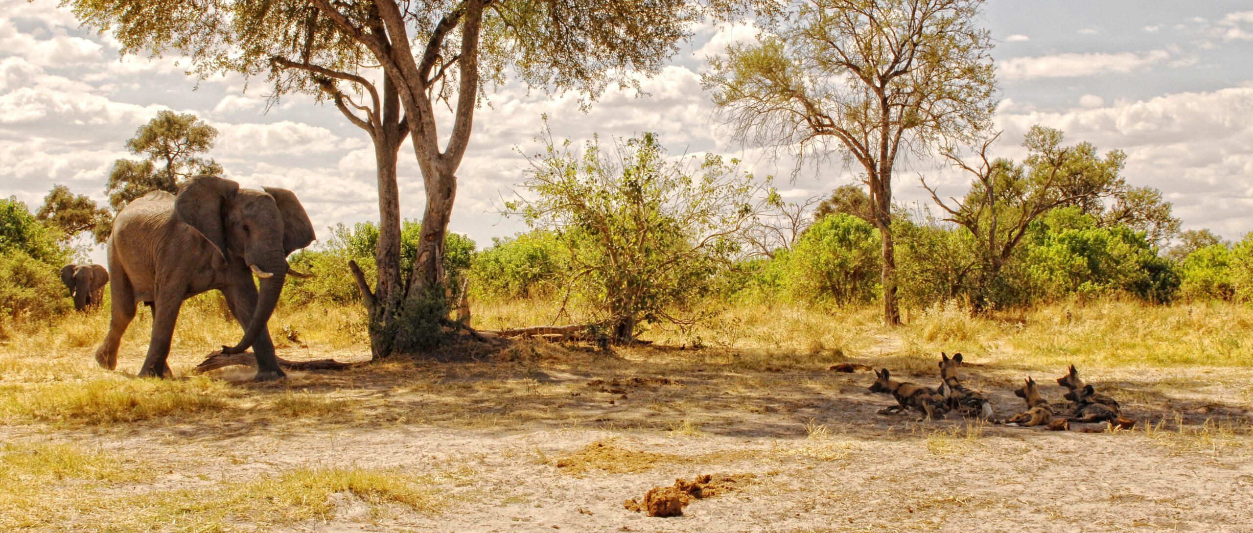 elephant and wild dog beneath trees in botswana