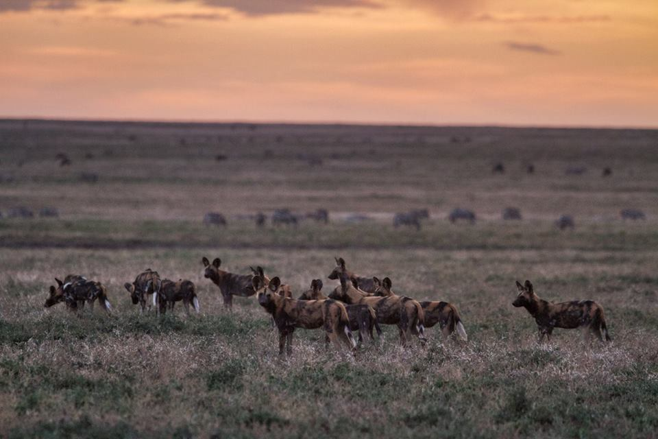 pack of wild dogs in the open plains at sunset in the Southern Serengeti