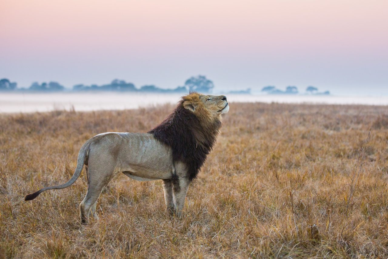 Lion looking up at sky in Kafue with morning mist in the background on safari in Zambia
