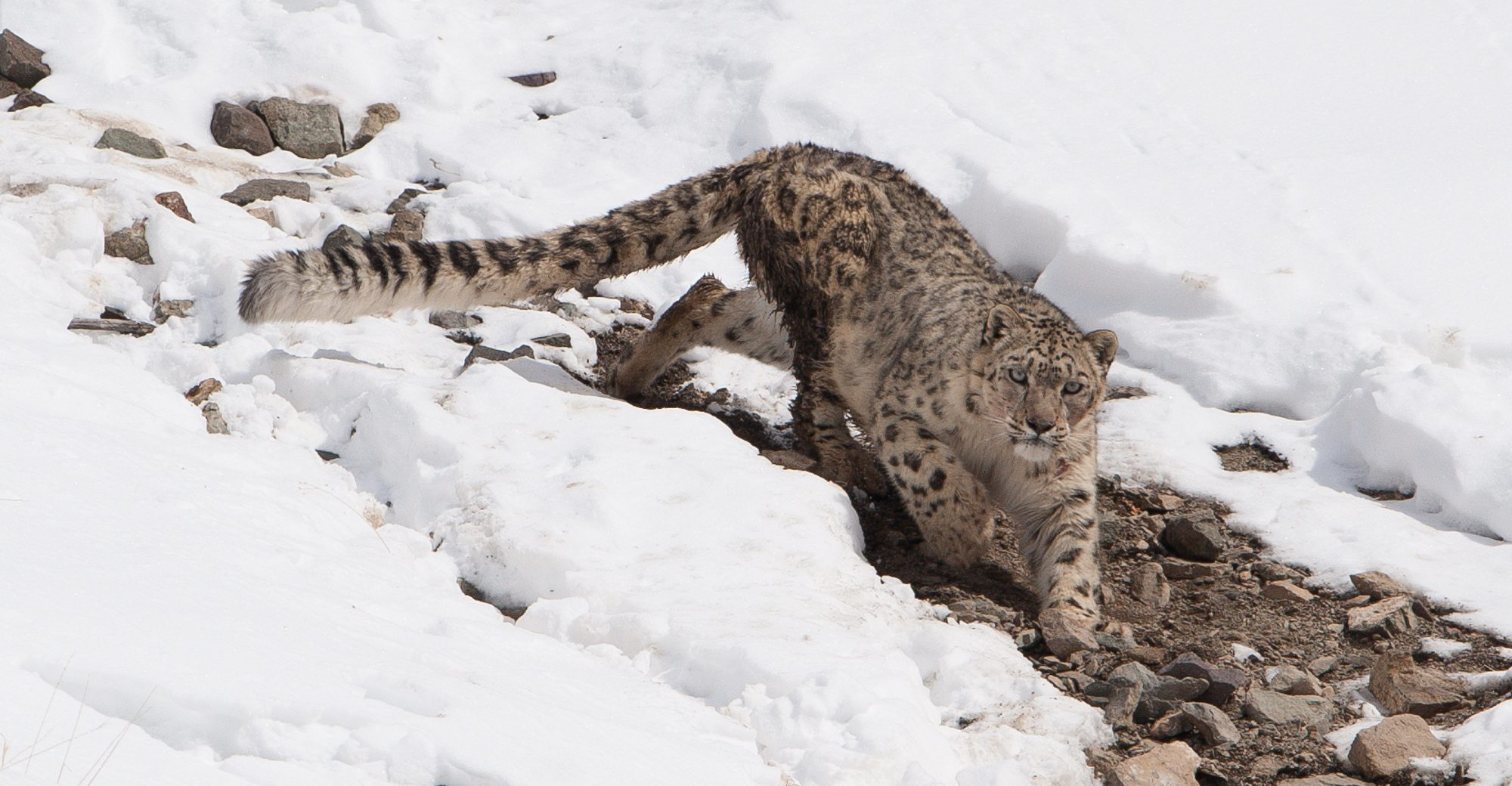 snow leopard walking towards the camera on a snow covered hillside on India safari