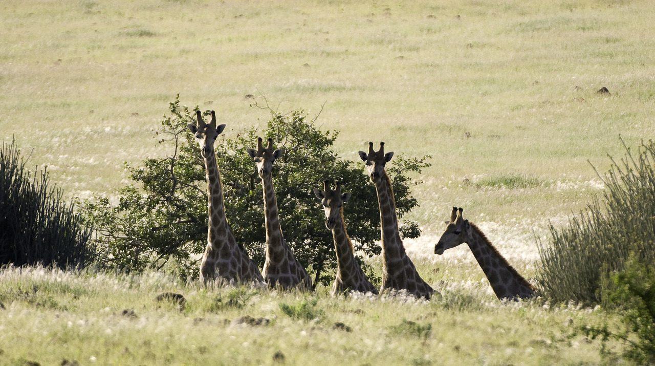 Four giraffe seen on Namibia safari