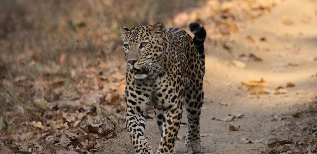leopard walking down a path with dried leaves on India safari