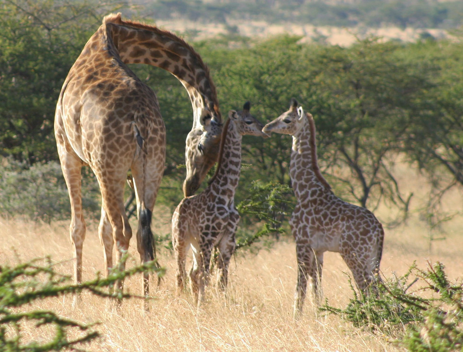 Mama and two baby giraffes
