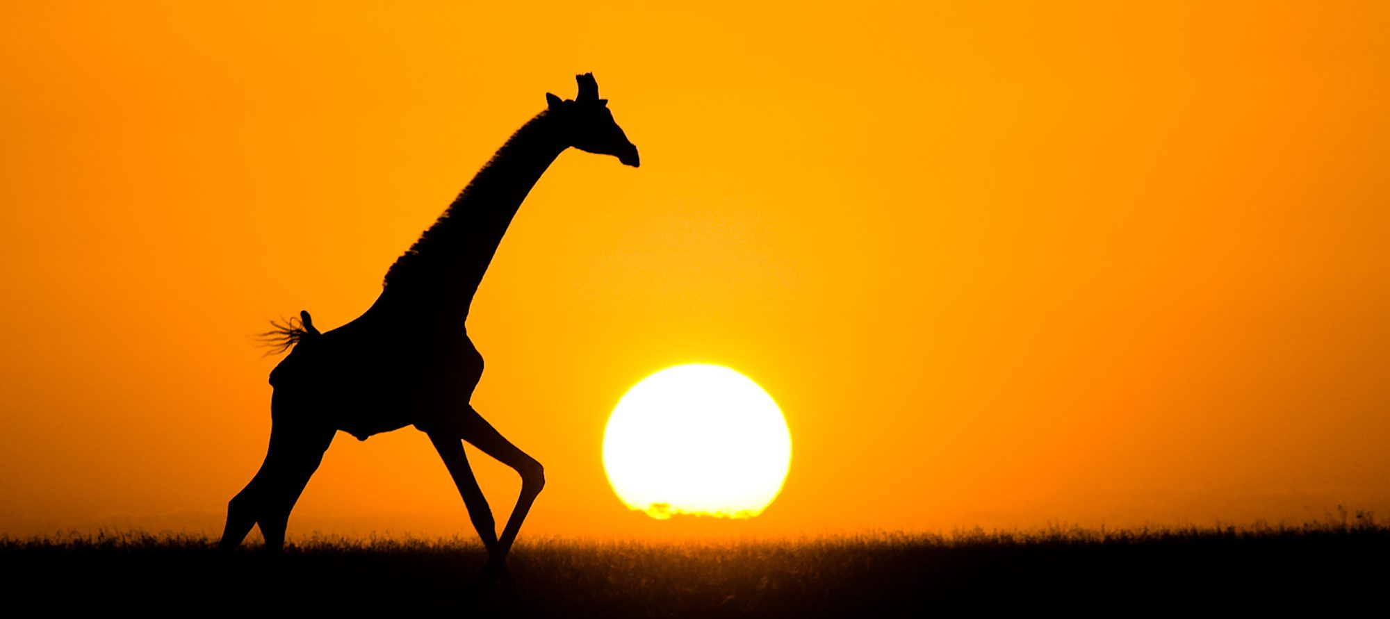 giraffe galloping across the horizon backlit by the sun at sunset. the sky is orange