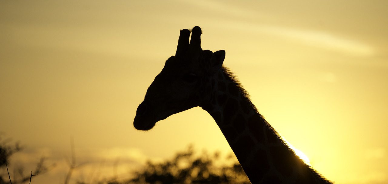 Shadow of giraffe head in the sunlight seen on our best Namibia safari