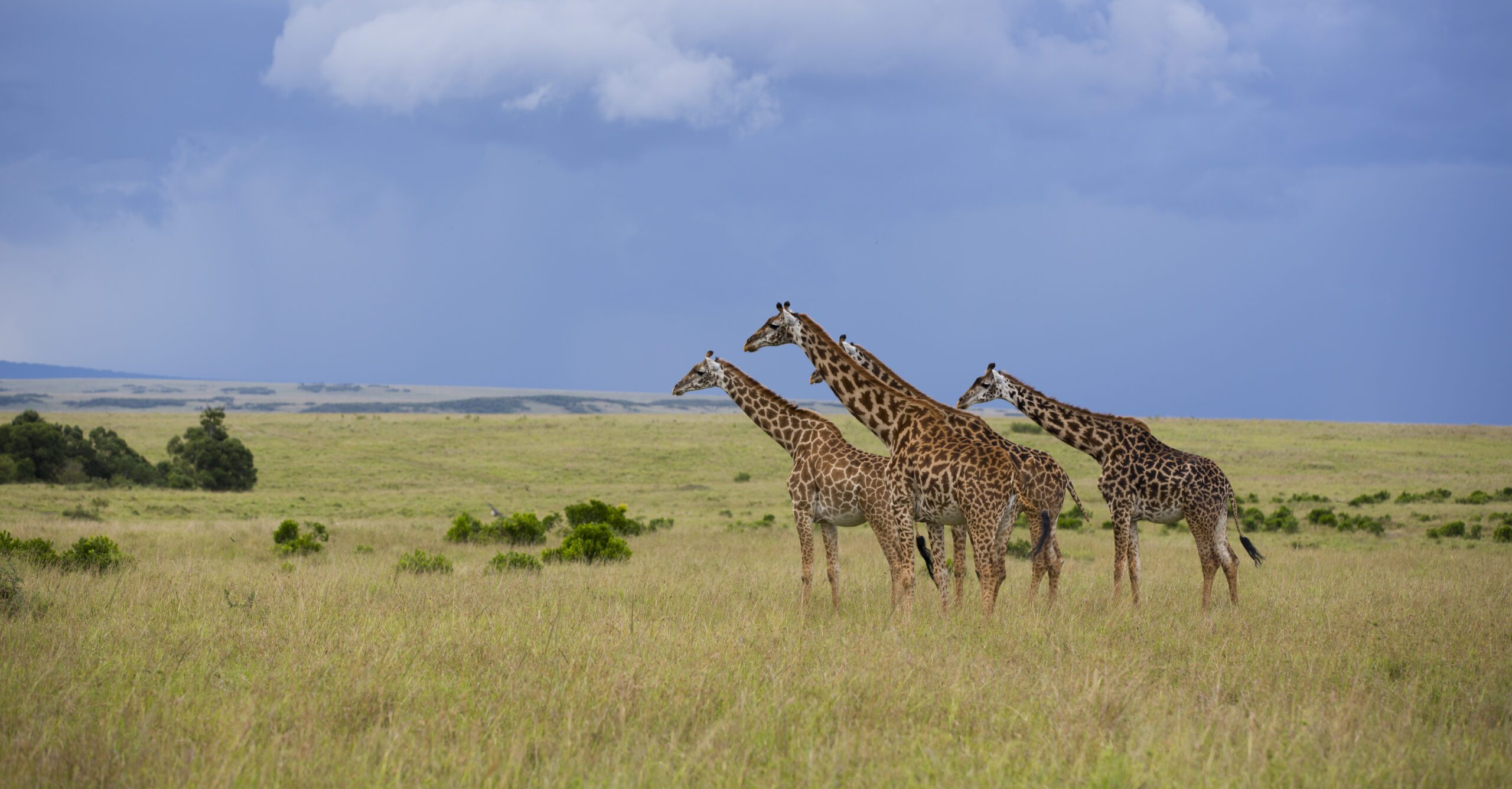 group of giraffe out on the open plains of the Maasai Mara on this Southern Africa safari