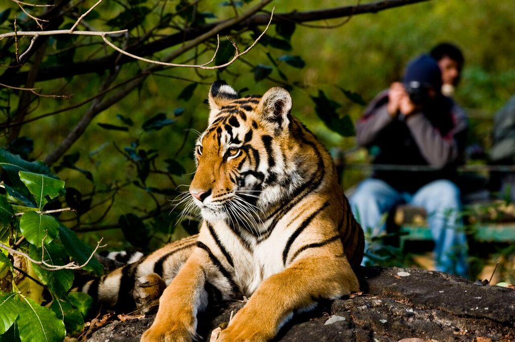 person photographing a tiger from behind