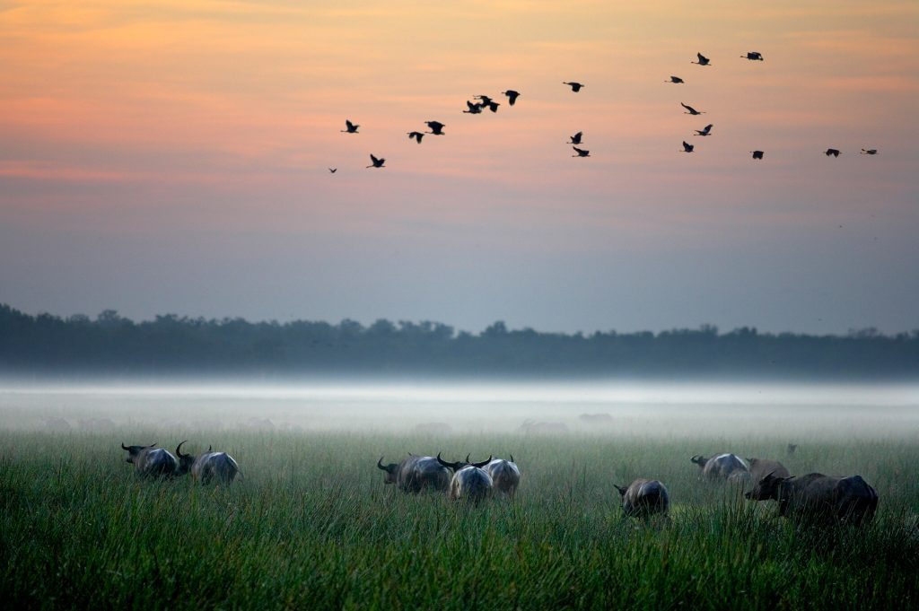 Birds fly over a misty floodplain dotted with water buffalo at Bamurru Plains