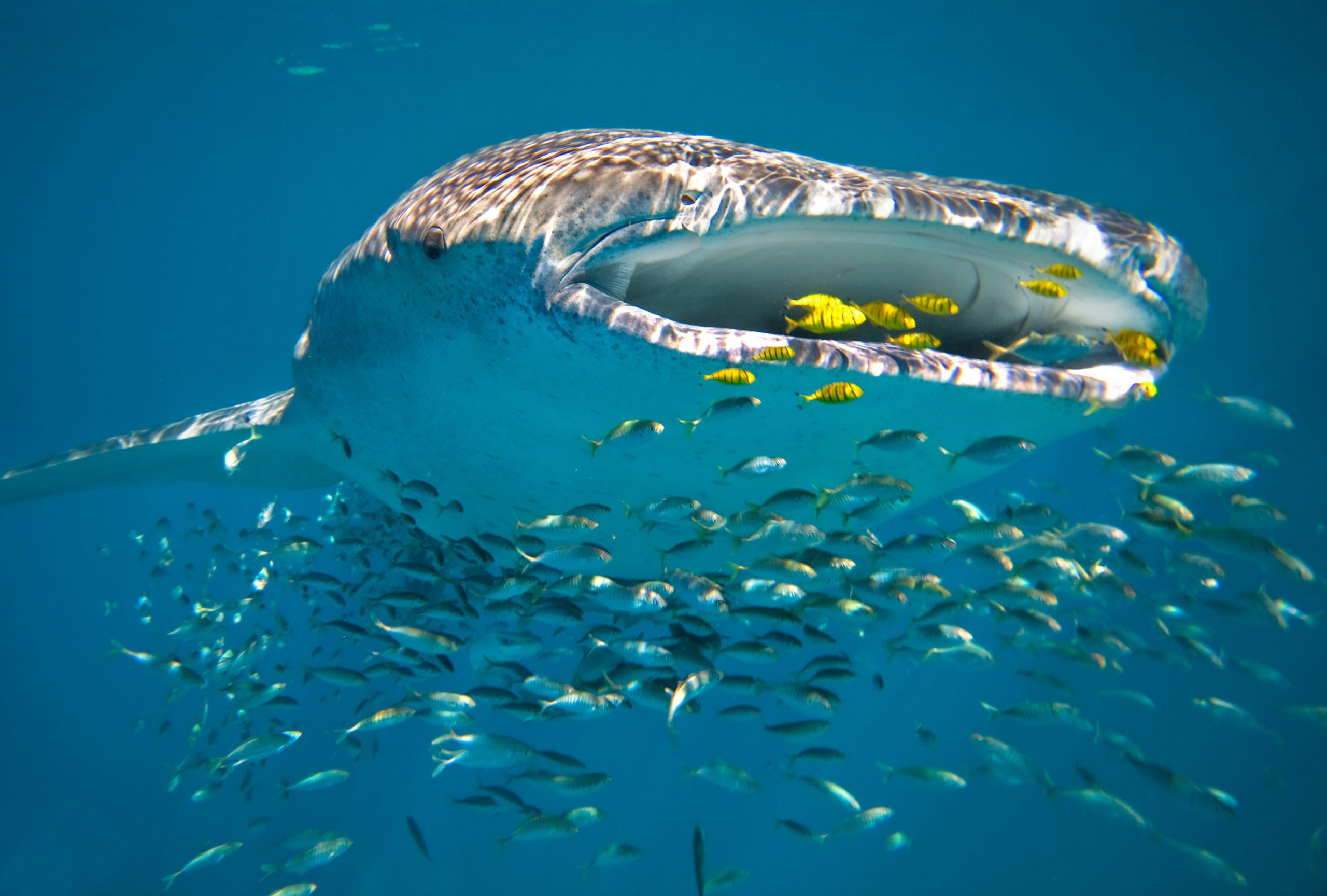 A whale shark gliding through the water and feeding on fish in Ningaloo Reef