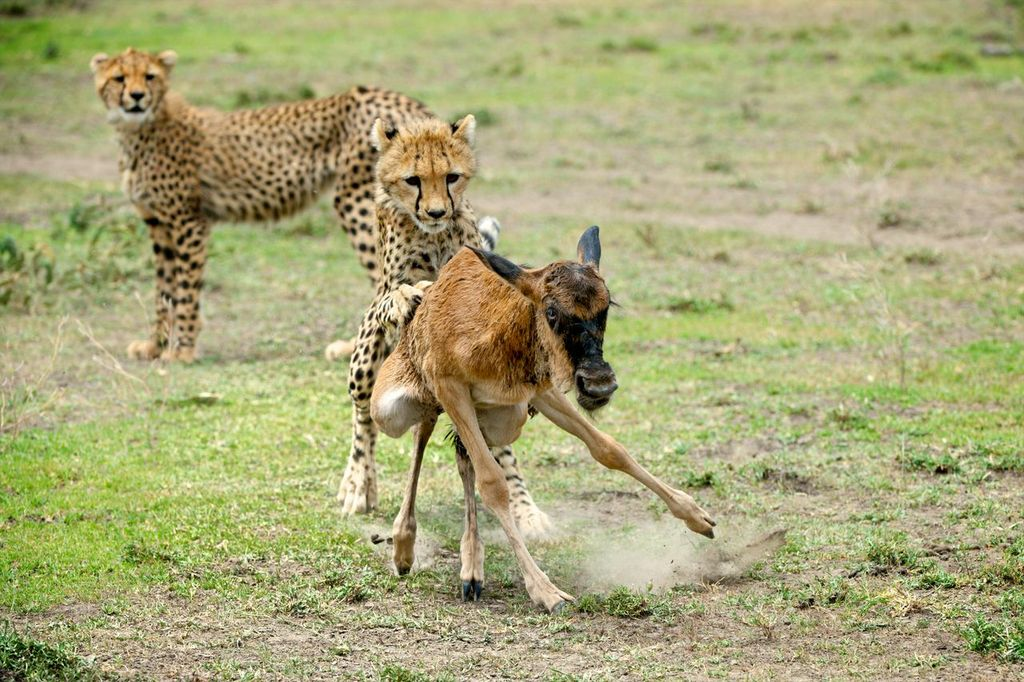baby cheetah hunting a baby wildebeest with a 2nd cheetah watching