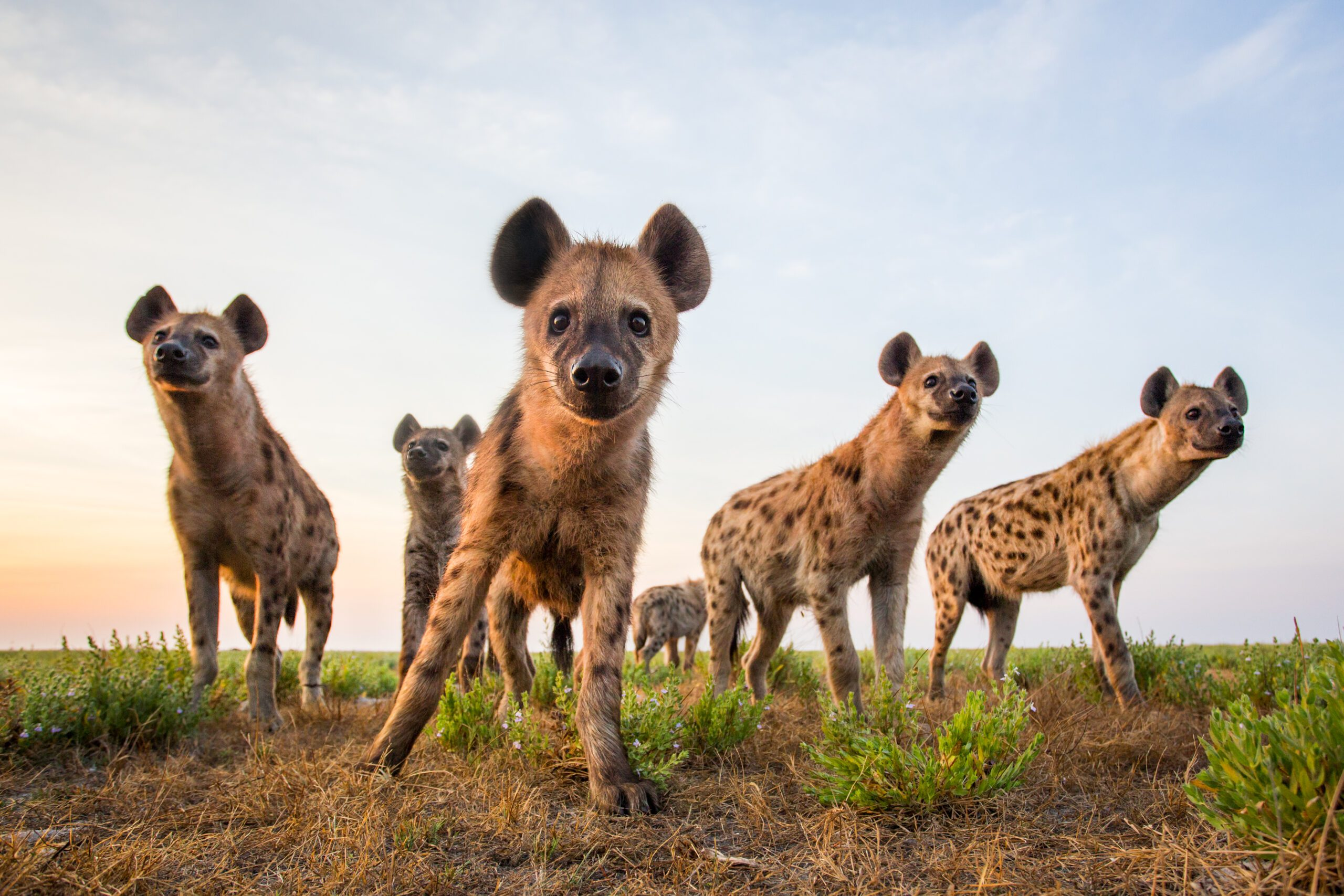 six hyena looking at the camera on the open plains in Liuwa