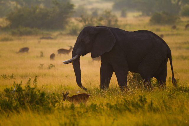 profile of an elephant in the golden grass at dusk with antelope in front and behind seen while on Uganda safari