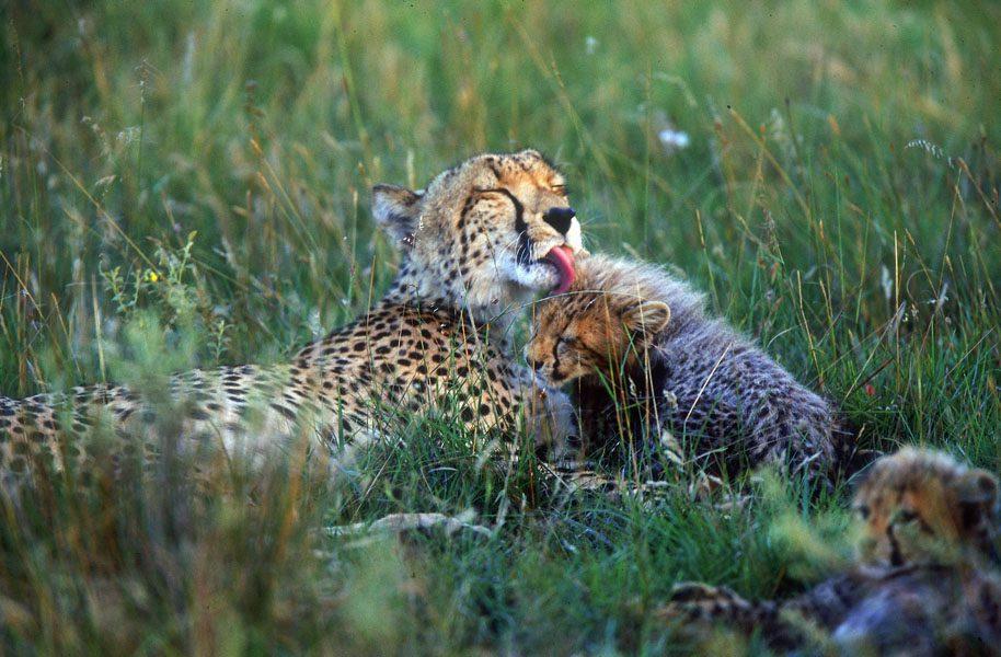 Cheetah on Amakhala Reserve