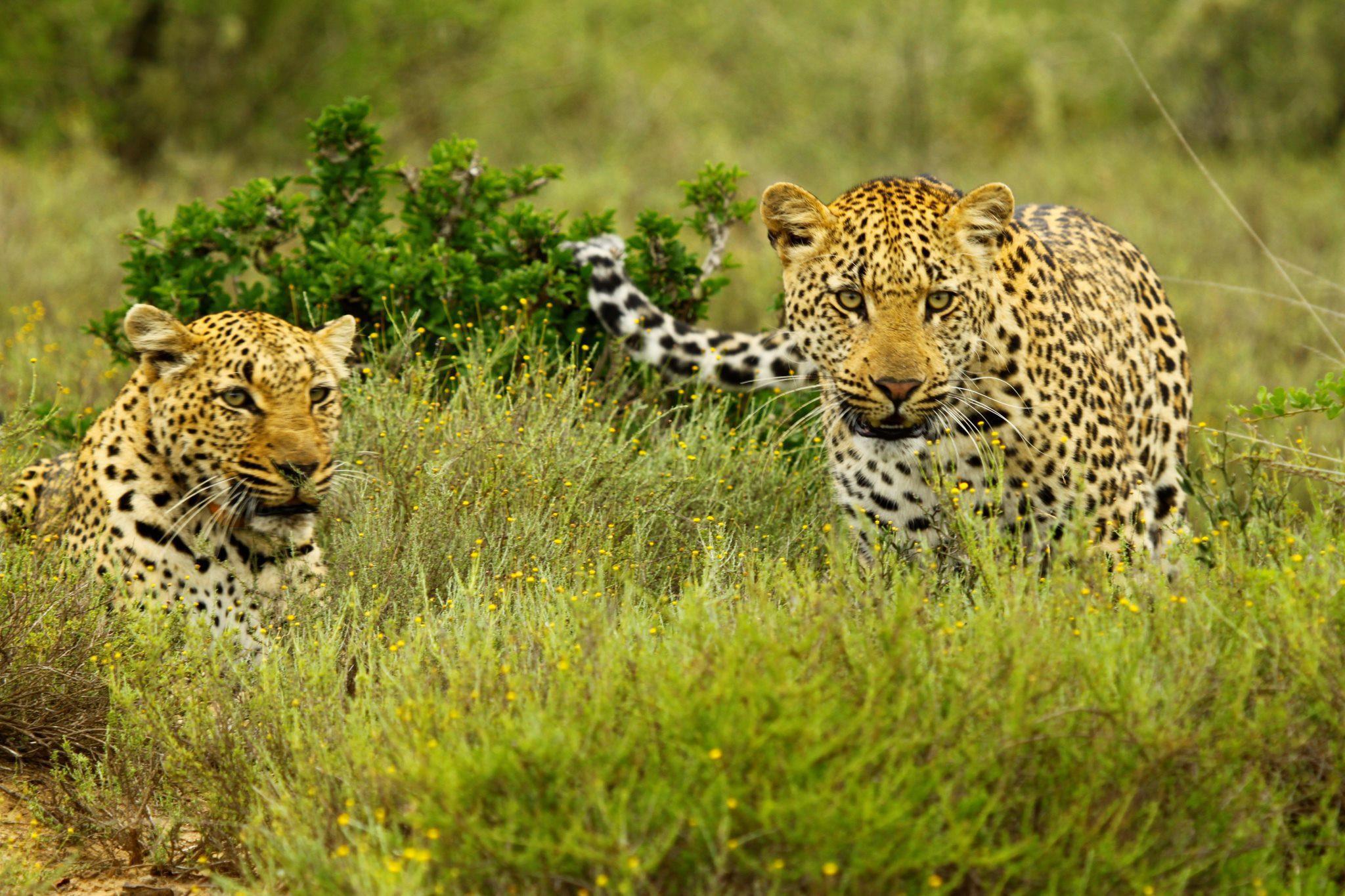 Kwandwe Leopards